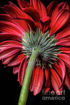 Red Gerbera Daisies Flower by Edward Fielding