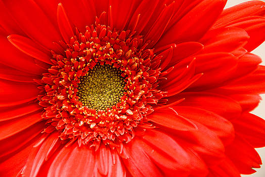 Red Gerbera Daisy by Rob Byron