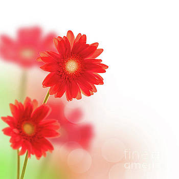 Red gerbera by Delphimages Photo Creations