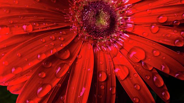 Red Gerbera by Jacqueline Schreiber
