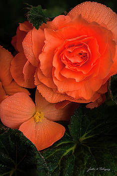 Red Giant Begonia Ruffle Form by John A Rodriguez
