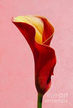 Red Calla Lily by Glennis Siverson