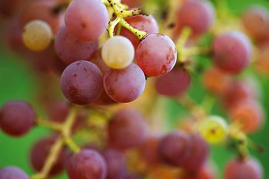 Jenny Rainbow - Red Grapes