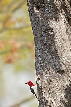 Red head on a Tree by Natural Focal Point Photography