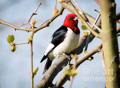 Red-Headed Woodpecker at a Glace  by Ricky L Jones