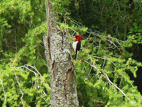 Red Headed Woodpecker by Fawn Whelahan