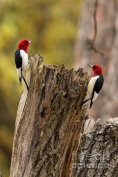 Red Headed Woodpeckers by Natural Focal Point Photography