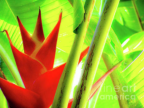 Red Heliconia by D Davila