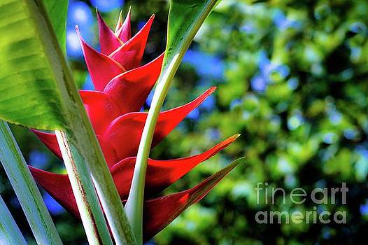 Red Heliconia Hawaii by D Davila