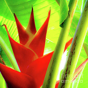 Red Heliconia Plant by D Davila