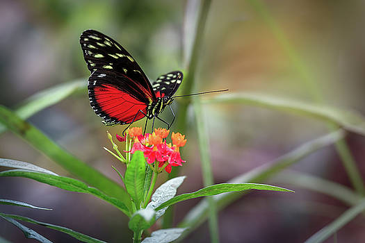 Red Heliconius Hecale Butterfly by Tim Abeln