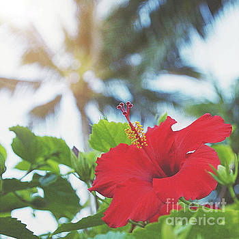 Red hibiscus by Cindy Garber Iverson