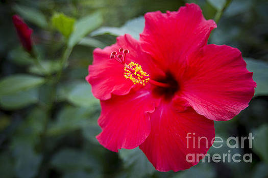 Red Hibiscus by Daniel  Knighton
