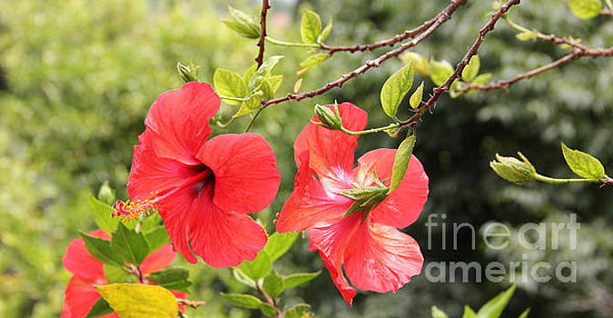 Red hibiscus flowers by Jackie Mestrom