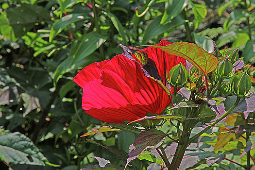 Red Hibiscus Green Buds and Seedpods Green Foliage Background 2 952017  by David Frederick