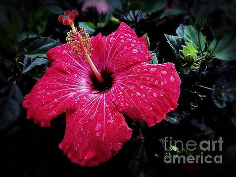 Red Hibiscus by JB Thomas