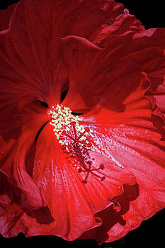 Red Hibiscus by Judy Johnson
