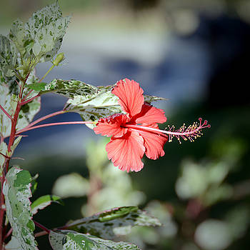 Red Hibiscus by Marites Reales