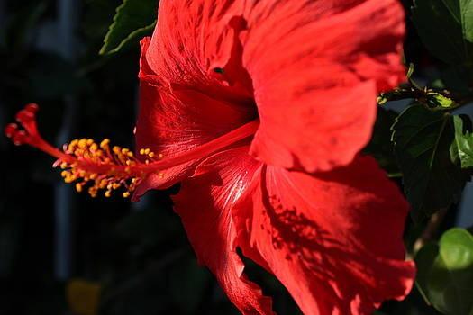 Red hibiscus by Maureen Jordan
