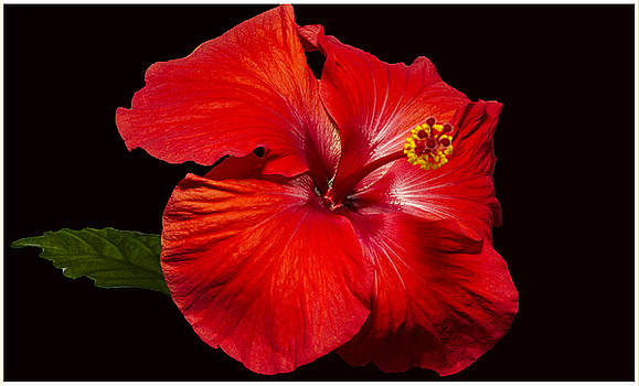 Red Hibiscus by Suanne Forster