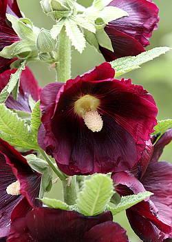 Red Hollyhock Flowers by Debi Dalio