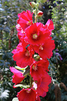 Red Hollyhock by Liora Hess