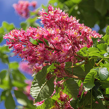 Red Horsechesstnut Bloom Squared 02 by Teresa Mucha