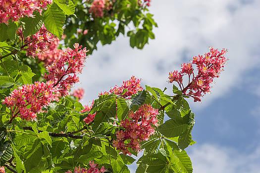 Red Horsechestnut Blooms 03 by Teresa Mucha