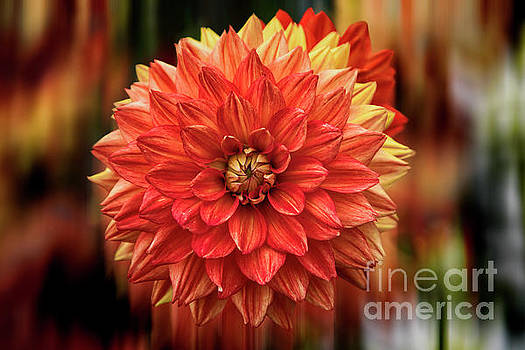 Red Hot Dahlia by Kasia Bitner