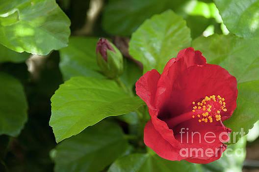Leonardo Fanini - red Ibiscus