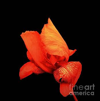 Rachel Hannah - Red Iris