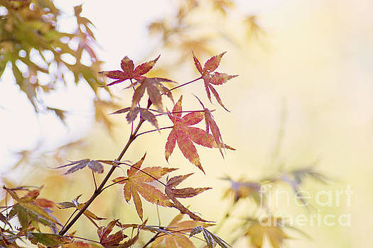 Red Japanese maple leaves by Cindy Garber Iverson