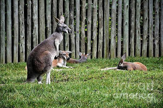 Red Kangaroo by Wanda-Lynn Searles