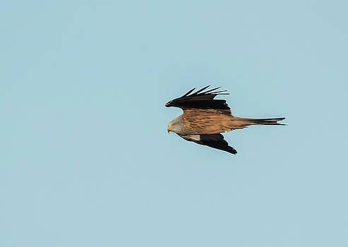 Darren Wilkes - Red Kite - Soaring The Sky