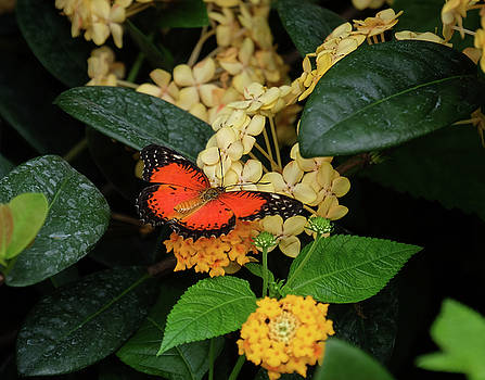 Red Lacewing Butterfly by Ronda Ryan