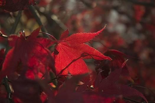 Red Leaf by Carla Neufeld