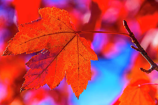 Red Leaf Close Up by Garry Gay