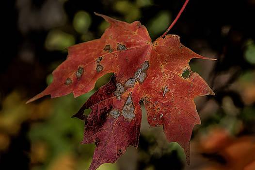 Red Leaf by Gej Jones