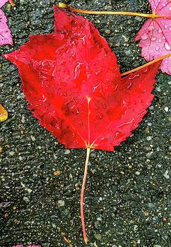 Red Leaf by Kevin Myron