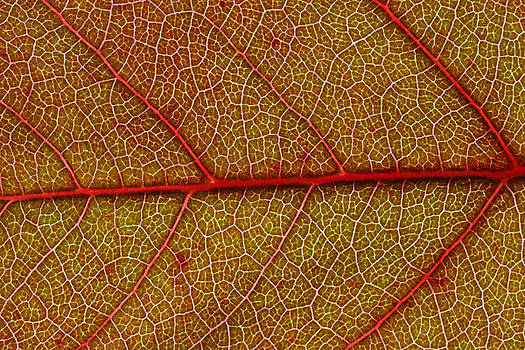 Red Leaf Macro by Frank Tschakert