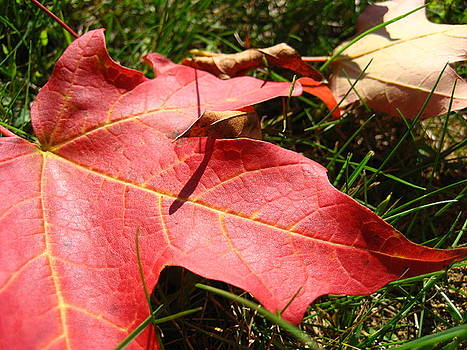 Red Leaf by Sheryl Burns