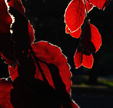 Red Leaves 2 by Jeff Breiman