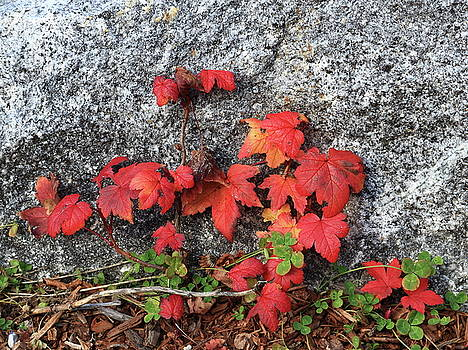 Red Leaves and Rock by Kimberly VanNostrand