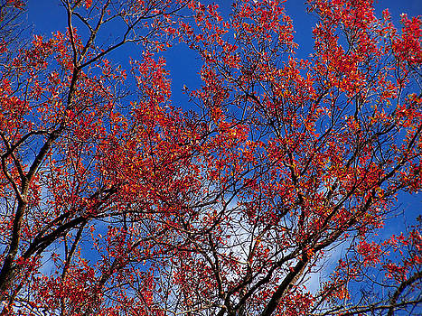 Red Leaves Blue Sky by Kendra Palmer