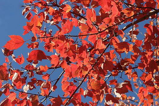 Rosanne Jordan - Red Leaves Blue Sky