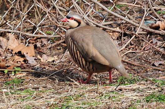 Red-legged Partridge by Andrea Everhard