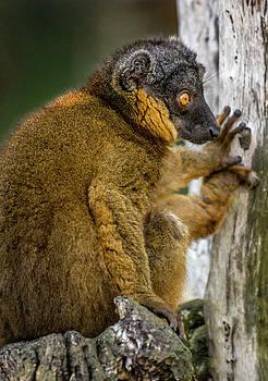 Red Lemur by Tito Santiago