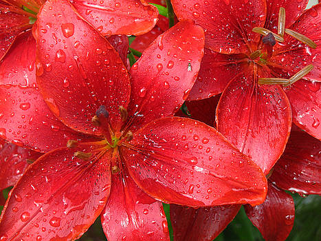 Red Lilies after the rain by Ken Moran