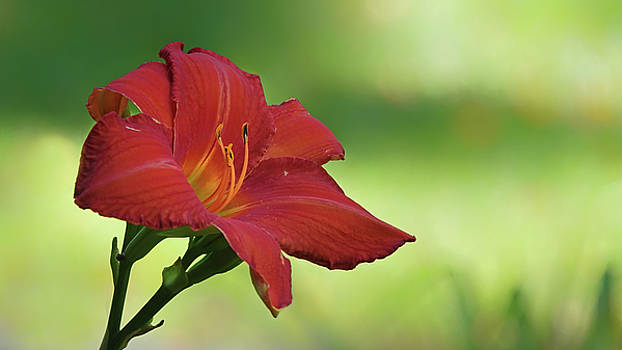 Red Lily by Jack Nevitt