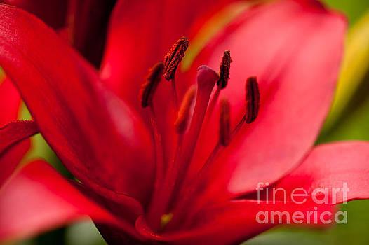 Red Lily stamens closeup by Arletta Cwalina